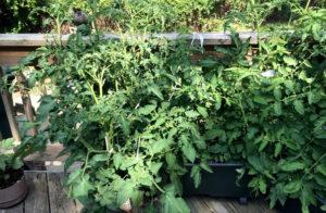Как выращивать рассаду томатов