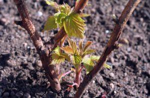Первые листочки малины