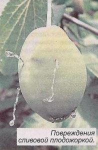Повреждения сливововй плодожоркой