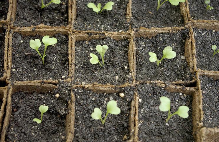 Как вырастить рассаду цветной капусты? дачушка.ру - сад, ого.