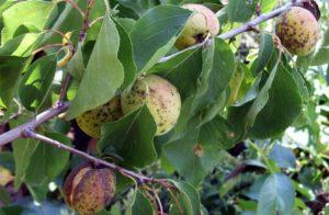 Больной абрикос