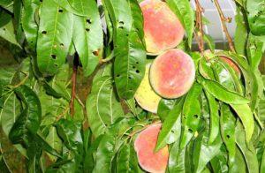 Клястероспориоз персика