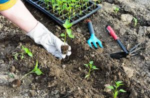Когда выращивать рассаду