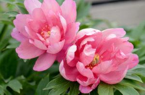 Почему не цветут пионы и что делать?