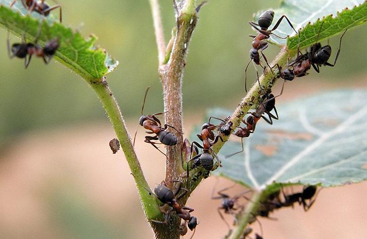 Как бороться с муравьями на огороде