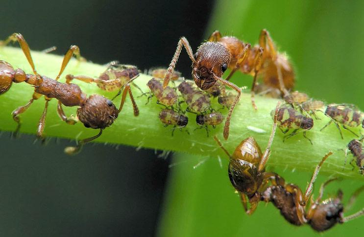 Как бороться с муравьями в теплице?