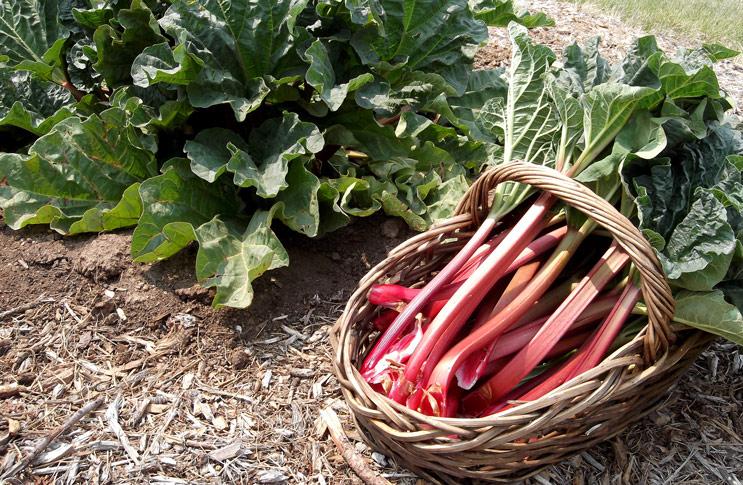 Ревень - польза и вред овоща
