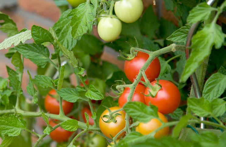 Как ускорить созревание помидор в теплице?