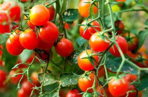 Как ускорить созревание томатов