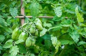 Полезные советы, чтобы ускорить созвевание томатов