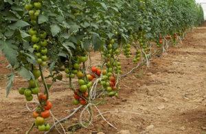 Что влияет на быстрое созревание помидор в теплице