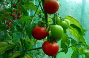 Созревание томатов в теплице