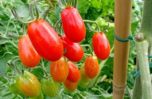 Как ускорить созревание томатов в теплице