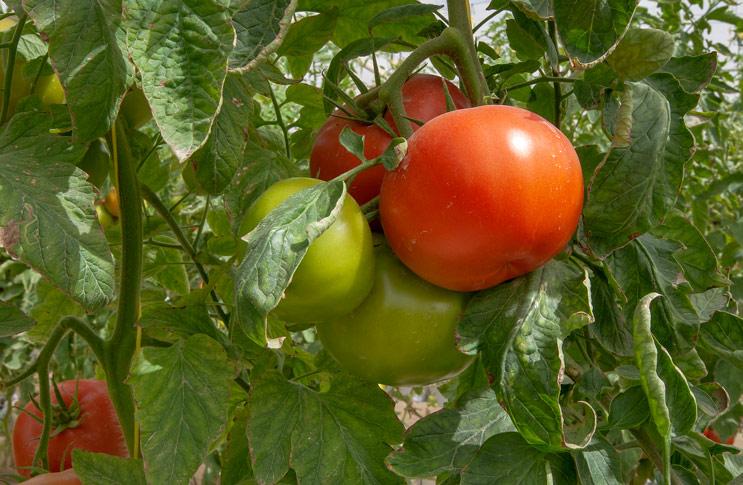 Как сделать так чтобы помидоры краснели на кусту 3