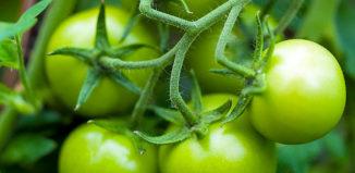 Как можно ускорить созревание томатов?