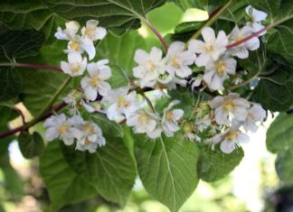 Цветение актинидии