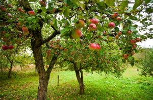 Сбор плодов и ягод