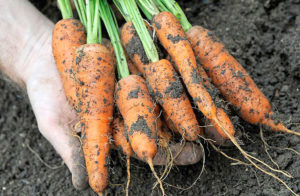 Когда собирать морковь