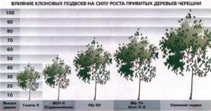 Влияние клоновых подвоев на силу роста привитых деревьев черешни