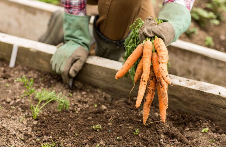Вырастить морковь рассадой как 78