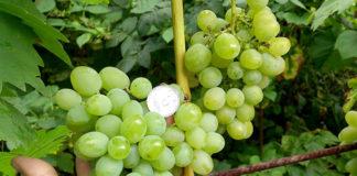 Чем подкармливать виноград
