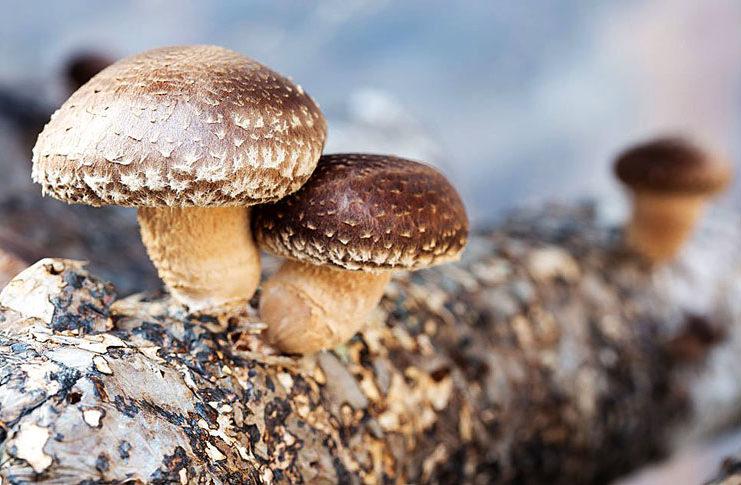 Выращивание и полезные свойства грибов шиитаке