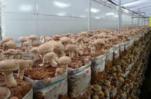 Как выращивают гриб шиитаке?