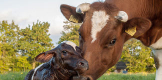 Чем опасен эндометрит коров?