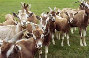 Рацион козы
