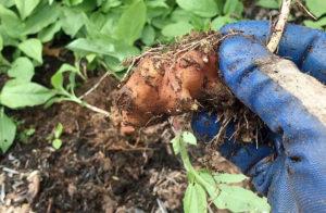 Лечебные свойства земляной груши