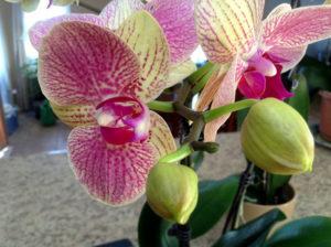 Как выращивать орхидею