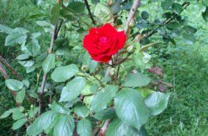 Привитая роза