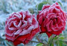 Посадка роз и их успешная зимовка