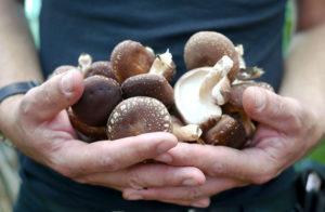 Чем полезны грибы шиитаке?