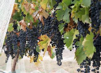 Как подготовить виноград к зимовке?