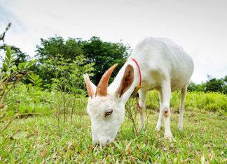 Рацион козы в период беременности. Как выращивать козлят?