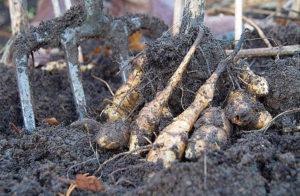 Как хранить земляную грушу?