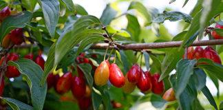 Кизил - условия выращивания и уход