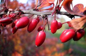 Условия выращивания кизила