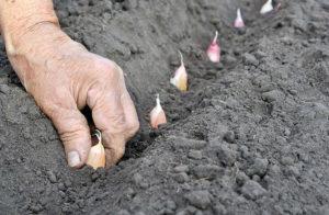 Как посадить лук под зиму